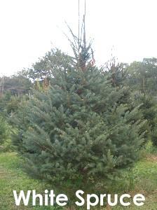 Matt's Christmas Tree Farm :: Home